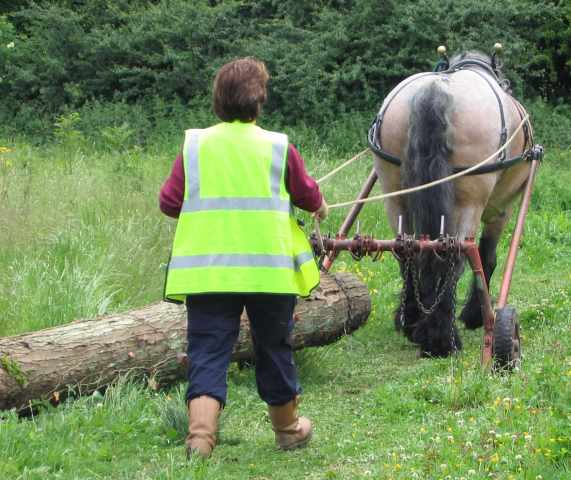Shire horse at work in woodland